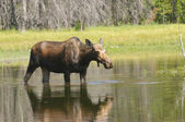 Moose feeding in a pond — Stock Photo