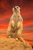 Meerkat on lookout for predators — Stock Photo