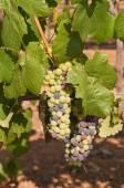 Vineyard in the foothills of the Sierra Nevadas — Stockfoto