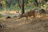 Black-tailed deer — Stock Photo