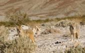 Wild Coyotes — Stock Photo
