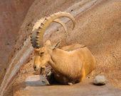 Scimitar horned Ibex — Stock Photo
