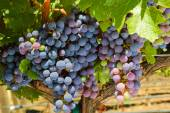 Growing grape — Stock Photo