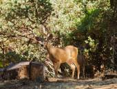 Pair of male black-tailed deers — Stock Photo