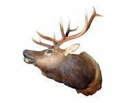 Taxidermy mount of an Elk — Foto de Stock