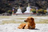 Redhead dog and buddhist stupas — Stock Photo