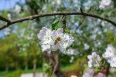 пчела на яблоневый цвет — Стоковое фото