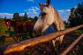 Caballo en Rancho — Stok fotoğraf