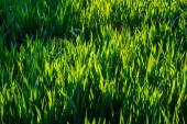 Background of dew drops on bright green grass — Stockfoto