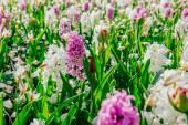 Branco - jacintos-de-rosa no jardim. — Fotografia Stock