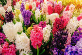 Colored hyacinths. — Stock Photo
