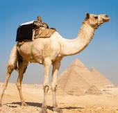 Camel Foreground Three Great Pyramids In Row Giza — Stock Photo