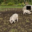 Free Range Pigs — Stock Photo #57391433