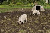 Free Range Pigs — Stock Photo