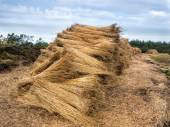 Reeds for thatching sampled in bundles — Stock Photo