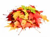 Fall. Pile of colored maple leafs isolated white background — Stock Photo