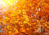 Autumn Maple Yellow Leaves. Outdoor. Fall Background — Stock Photo