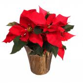 Red poinsettia flower isolated on white. Christmas Flowers — Stock Photo