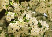 Cherry blossoms. White flowers on spring day — Stock Photo