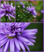 Collection of lilac asters — Stock Photo