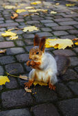 Red squirrel  gnaws a nut — Stock Photo
