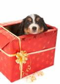 Christmas surprise doggy — Stock fotografie