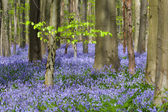 Green foliage and millions of bluebells — Stock Photo