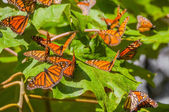 Monarch Butterfly Biosphere Reserve, Michoacan (Mexico) — Stock Photo