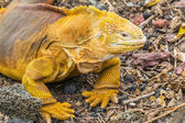 Galapagos land iguana, Charles Darwin Research Station (Ecuador) — Stock Photo