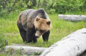 Grizzly bear, Alaska — Stock Photo