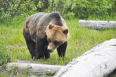 Grizzly bear, Alaska — Photo