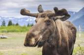 Moose in Alaska (USA) — Stock Photo