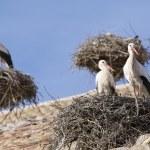 Storks in San Miguel Collegiate Church, Alfaro (Spain) — Stock Photo #67910495