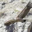 Griffon vulture in Duraton Canyon Natural Park in Segovia, Spain — Stock Photo #67916349