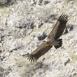 Griffon vulture in Duraton Canyon Natural Park in Segovia, Spain — Stock Photo #67916503