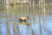 Deer in a lake, Salburua park, Vitoria (Spain) — Stock Photo