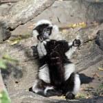 Black and White Ruffed Lemur — Stock Photo #58394515