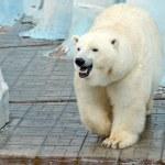 White polar bear — Stock Photo #61193983