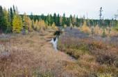 Northern Ontario Forest — Stockfoto