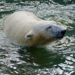White polar bear — Stock Photo #63948341