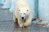 Weißer Eisbär — Stockfoto