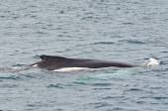 Swimming humpback whale — Stock fotografie