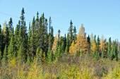 Norra Ontario skog — Stockfoto