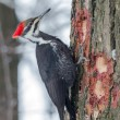 Pileated Woodpecker — Stock Photo #66352963