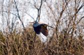 Blue heron — ストック写真