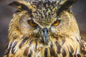 Owl with intense eyes — Stock Photo