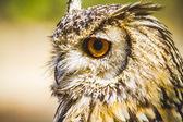 Owl with intense eyes — Stock Photo