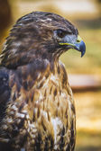 Diurnal bird — Stock Photo