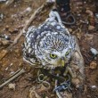 cute little owl — Photo