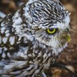 cute little owl — Stockfoto #52242835